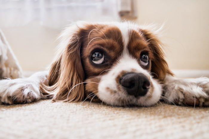 インテリアに悩む犬