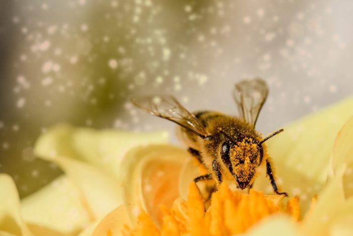 花粉に塗れた蜂