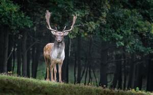 fallow-deer-984573_640