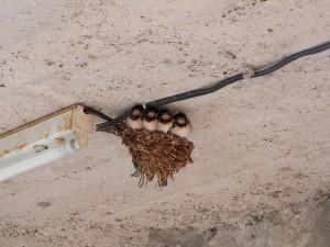 swallows-203664_640
