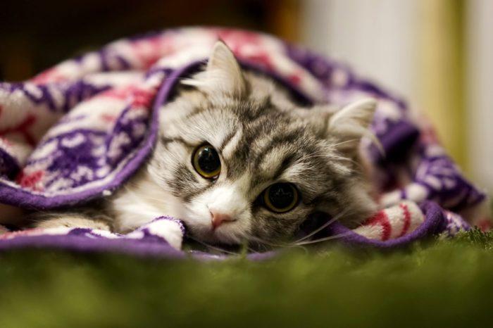 ブランケットに包まるメス猫